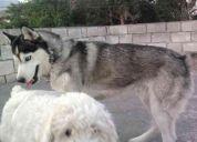 Busco perra husky siveriano!!!!!!!!