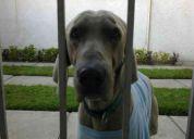 perro macho weimaraner encontrado