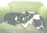 Perritos boston terriers perdidos en la naval norte - atarazana