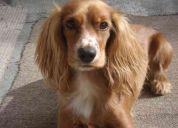 Malu - recompensa, perra perdida en santo domingo de los tsachilas.