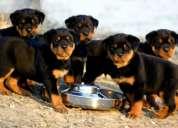 Vendo cachoros  rottweiler a 160 dolares negosiables