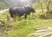 Toro vaca,vacona toro reproductor de raza holstein puro, de exelente genetica
