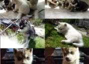 En venta adorables cachorritos husky siberiano