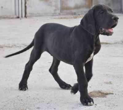 Cachorros gran danes de muy alta calidad
