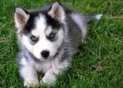 Los cachorros siberian husky
