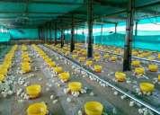 Galpones avicolas constriccion mantenimiento equipos