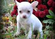cachorros kc chihuahua registrada
