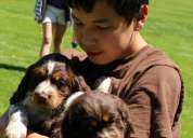 cachorros springer spaniel inglés