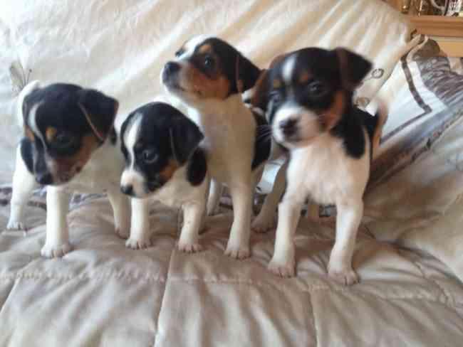 Impresionantes cachorros Jack Russell Todo Tri Color