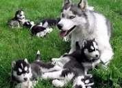 Lindos machos y hembras husky siberiano cachorros