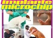 Colocacion chip microchip identificacion perros gatos caninos felinos chequeo veterinario