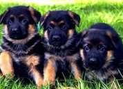 Cachorros pastor aleman pedigri, padre importado,oportunidad