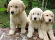 Pañales cachorros golden retriever