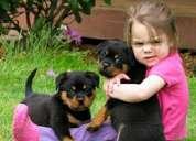 Excelente rottweiler cachorros