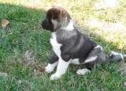 Hermosa y dulce akita cachorros para adopciÓn