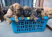 boxer lindos cachorros